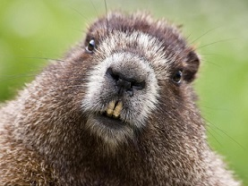 These teeth are made for gnawing ... could beavers be nature's way of preventing flooding?
